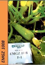 EMGZ 1008 Novidade de Esmerald Seeds, resistente ao vírus do mosaico, tipo híbrido Grey Zucchini, frutos de excelente qualidade e formato cônico, que o mercado prefere com uma cicatriz apical muito pequena, adaptável a muitas áreas de produção, com tamanho médio muito forte, plantas abertas para colheitas fáceis, resistência a WMV, ZYMV, PRSV e alta tolerância a PM. Recomendada para zonas com alta pressão a doenças.