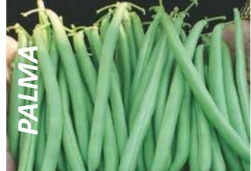 semillas de ejotes