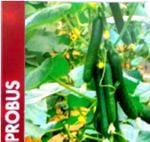 semilla de pepinos