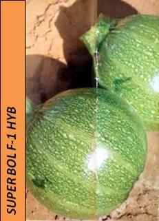 SUPER BOL F-1 HYB Variedade de abobrinha redonda híbrida, muito prolífica, com frutos bonitos e uma planta saudável e robusta. Resistência intermédia: PM 2, WMV, WMV.