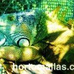 Contención de iguanas con malla extruida en Unidad de Manejo para la Conservación de Vida Silvestre V550x350px