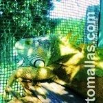 Contención de iguanas con malla extruida en Unidad de Manejo para la Conservación de Vida Silvestre