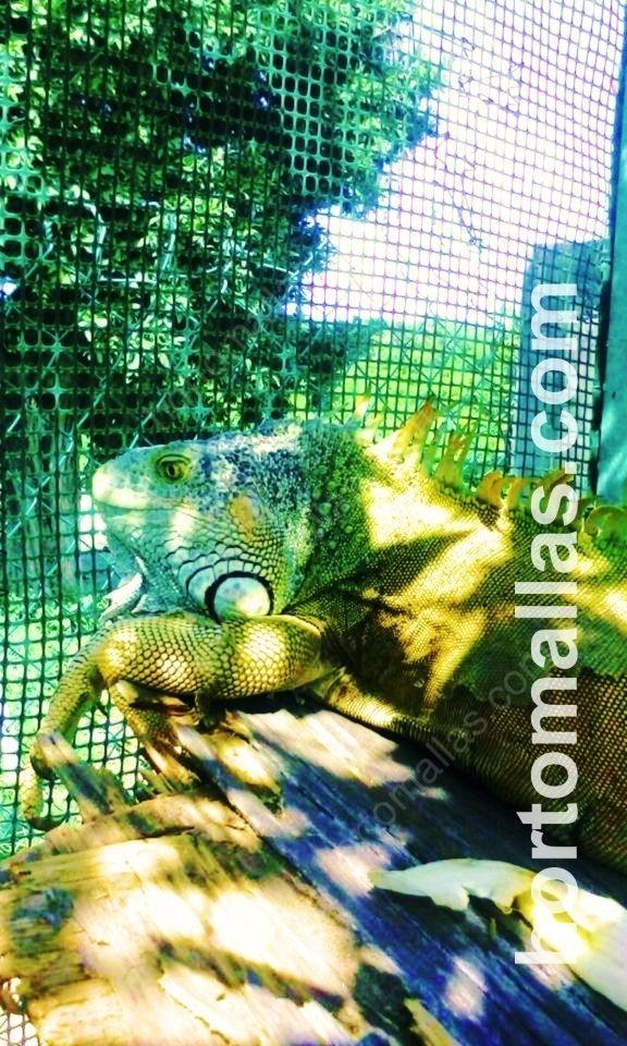 jaula para iguanas