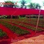 cultivo-de-flores-en-casa-sombra-de-obamalla-colores-en-campo-abierto