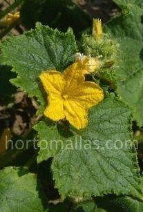 Flor de la planta de pepino