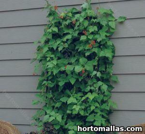 Planta trepadora instalada en maceta