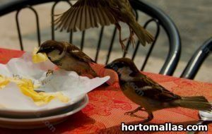 sparrows stealing french fries