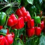 tutoreo de hortalizas