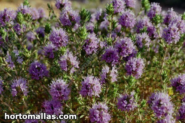 Thyme Crop and its benefits