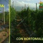 A diferença entre os dois sistemas de tutoramento, aráfiae arede de plástico, são visíveis. Com HORTOMALLAS® é garantido à planta um óptimo sistema desuporte de vegetais.