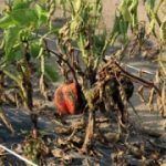 Phytophthora em pimentas pode ser diminuída, permitindo uma boa ventilação e diminuindo a intervenção das mãos dos trabalhadores