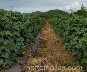 沟槽根本没有叶子或树枝,因为作物使用了HORTOMALLAS支撑网