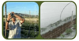 使用作物支撑网支撑番茄被应用于温室栽培或露地
