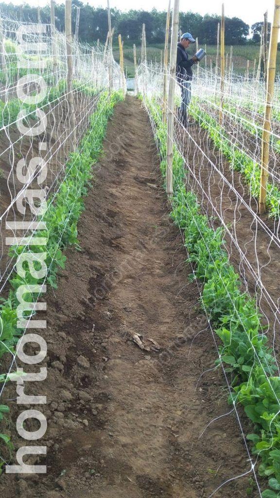 As plantas de tomate obtêm melhor suporte quando são tutoradas com malha/rede dupla