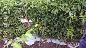 استخدام شبك الشعرية في العناية وتقليل انتقال الميكانيكي للفيروسات إلى الطماطم.