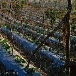 Dikey file ağ kullanarak salatalıkların terbiye edilmesi