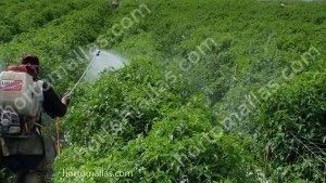 تربية نباتات الطماطم باستخدام الشبكة الشعرية كنظام دعم وحماية الخضراوات
