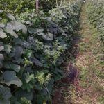 O cultivo do melão com malha treliça HORTOMALLAS oferece melhor uso da terra e menor afectação de doenças devido à umidade excessiva.