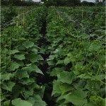 Направить рост дынь и арбузов вертикально можно при шпалерном выращивании. Это является одним из преимуществ использования опорной сетки для культивирования дынь в теплицах туннельного типа.