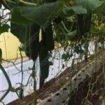 Substitua a ráfia para tutorar pepinos pela rede pepino HORTOMALLAS, garante um melhor controle fitossanitário de seu cultivo.