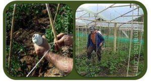Domatesleri rafya kullanarak terbiye etmek bir çiftçi için alışılagelmiş bir yöntemdir.