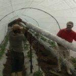 Implantação e instalação de HORTOMALLAS® em tutoria de tomates