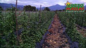 """ارشادات في الفاصوليا الخضراء باستخدام شبكة تعريشة """" هورتومالس""""."""