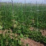 棚架网更好地支撑了植物,并使果实免于与潮湿的土壤直接接触。(direct contact of the fruit with moist soil.)