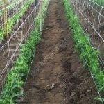 这是一个农民偏爱使用双层棚架网种植豌豆的案例,借助卷须的攀爬特征,令其自然地连接在棚架网上。本支架系统每公顷能够生产更多植物,也因降低了病毒的机械传播,使得品质更加优良。