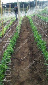 هذا هو الحال حيث يفضل المزارع لإعطاء البازلاء دعم مزدوج و ,الاستفادة من طبيعة الاغصان المرتبطة بطبيعة الحال الى شبكة التعريشة وهذا النظام ينتج المزيد من النباتات في الهكتار الواحد، وأفضل نوعية بفضل خفض الأمراض المنقولة ميكانيكيا.