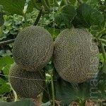 Nella coltivazione del melone la rete per spalliere, oltre ad aumentare la densitá, permette prevenire il contagio di malattie che derivano dall'umiditá del suolo.
