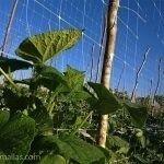 利用棚架网支撑作物,降低了劳动力和病害的传播。