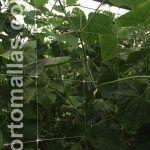 黄瓜作物(cucumber crop)被编织在棚架网中,避免了花和果实接触到地面,同时降低了农民经过沟槽导致病害和果实损失的发生率。
