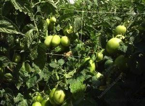 使用支撑网支撑作物预防多种番茄真菌疾病。