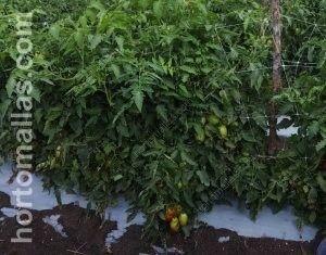 在生长阶段和支撑期间,使用HORTOMALLAS支撑网减少番茄中的机械传播疾病。