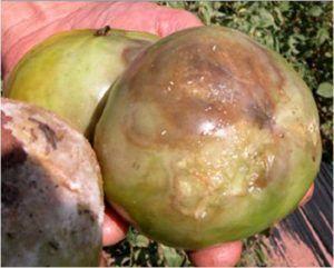 高湿度和低通风引起的番茄疫病。