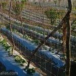 使用作物支撑网的黄瓜作物