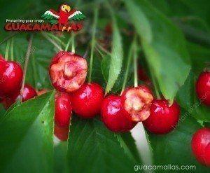 GUACAMALLAS 防鸟网,就是用于保护这些樱桃的。