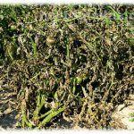 Растения, не имеющие хорошей опорной системы, часто страдают от сильных ветров