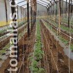 ان زراعة الطماطم في صفوف مزدوجة داخل الصوب الشبكية يقلل من انتشار الامراض بواسطة الانتقال الميكانيكي .