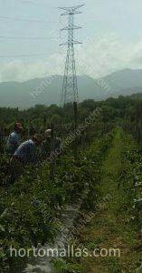 Cельскохозяйственные работы могут выполняться легко, когда растения подвязаны с использованием опорных сеток.