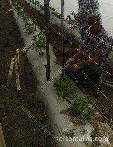 При выращивании томатов рекомендуется использование сеток для подвязки «двойной стенкой».