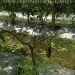 Порывы шквальных ветров повреждают плоды баклажана, вследствие чего они теряют свою ценность на рынке.
