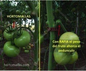 Differenza dell'effetto sul peduncolo del frutto di pomodoro con l'uso di HORTOMALLAS e della rafia.