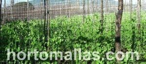 توفر شبكة التعريشة للنباتات الفول نظام الدعم التى تمنع حالة زحف المحاصيل . و هذا يسمح باداء افضل و بقيام بازالة الحشائش الضارة دون تدمير المحصول