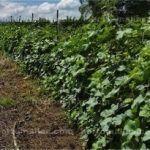 Os cultivos de melão podem melhorar o seu nível de produção usando a malha para tutoramento de melão