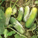 Este é um exemplo típico de um cultivo afectado por fortes alterações climáticas. Chuvas fortes, fora de temporada, causam danos aos agricultores que cultivam tradicionalmente no chão.