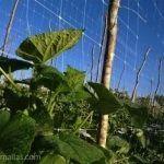 A rede pepino HORTOMALLAS melhora a fitossanidade desta cucurbitácea.