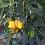 ومحاصيل الفلفل تتطلب دعماً على كلا الجهتين لمنع وزن الفاكهة من كسر الفروع.