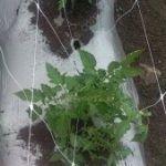 Aqui você nota, como a parte inferior da tutoria com HORTOMALLAS é amarrada para conduzir a planta de tomate para os quadrados superiores da malha.